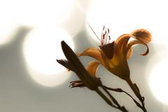 Bokeh & the Lily (ken.krach (kjkmep)) Tags: lily middleriver