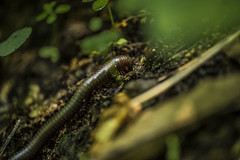 (JoshKPhotography) Tags: millipede narceus americanus insect spirobolidae spirobolida diplopoda myriapoda arthropoda