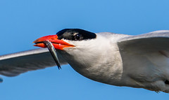 Caspian Tern with Catch (m e a n d e r i n g s) Tags: breeding wetlands orangecounty tern colony bif caspiantern