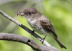_53F5736 Eastern Phoebe (~ Michaela Sagatova ~) Tags: easternphoebe flycatcher birdphotography feedingyoung nestingflycatcher michaelasagatova