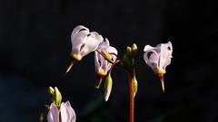 Dodecatheon jeffreyi (Primulaceae) (Kaisaniemi Botanic Garden, Helsinki, 20160605) (RainoL) Tags: flowers summer plants plant flower nature june finland geotagged helsinki helsingfors fin kaisaniemi kluuvi dodecatheon primulaceae 2016 uusimaa nyland dodecatheonjeffreyi 201606 gloet kajsaniemi fz200 kaisaniemibotanicgarden jumaltenkukka 20160603 geo:lat=6017503197 19880038 geo:lon=2494724213 kaisaniemenkasvitieteellinenpuutarja kajsaniemibotaniskatrdgprd stortolvgudablomma