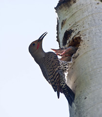 Northern Flicker with Chicks (Colaptes chrysoides); Santa Fe National Forest, NM, Thompson Ridge [Lou Feltz] (deserttoad) Tags: mountain newmexico tree bird nature woodpecker nest nationalforest chicks aspen flicker songbird wildbird