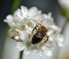 Andrena sp (I think) on Armeria (conall..) Tags: scotlandjune2016 bee solitary andrena sp armeria maritima star morning white thrift ornamental raynox macro cambo heritage trust gardens kingsbarns st andrews fife walled garden standrews