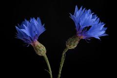 cornflowers (eosxd) Tags: cornflowers