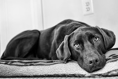 Chocolate Labrador - Reagan (rob.holtz) Tags: chocolatelabrador