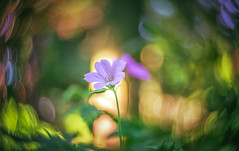 Herb Robert (Dhina A) Tags: flower lumix 1 inch sony panasonic taylor swirl 25mm hobson f15 herbrobert cooke boheh gf2 sonyalpha kinic swirlbokeh coatedversion a7rii a7r2 taylorhobsoncookekinic25mmf15 ilce7rm2