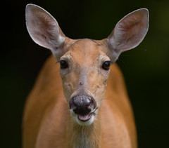 backyard deer close up with fly (jimbobphoto) Tags: deer animal closeup ears nose whitetail fly insect pennsylvania smile whiskers browneyes