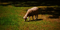 Summer grazing (Paul Anthony Moore) Tags: smithtown smithtownhistoricalsociety longisland newyork stonybrook