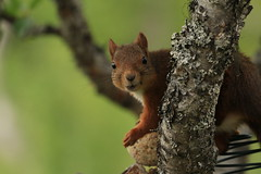 Pregnant squirrel (Sciurus vulgaris) (Sitrusphoto) Tags: squirrel pregnant vulgaris sciurus