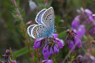 Silver-studded Blue-187