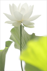 White Lotus Flower on-white (Bahman Farzad) Tags: white flower lotus onwhite