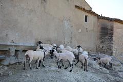 Temps d'esquilar les ovelles, la Berna, Torrelles de Foix, Peneds (Angela Llop) Tags: spain sheep catalonia shearing peneds shear