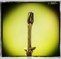 Buds r Us (mikesteph0) Tags: tree nature scenery natural outdoor foliage lr4