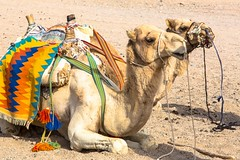 Sahara (Schamane27) Tags: africa travel wild two tourism sahara nature beautiful animals sand reisen gesicht desert outdoor head dunes tag urlaub natur egypt sunny arabic safari heat afrika nomad arabian sonne verkehr climate arid nahaufnahme tier busch kamel tuareg nomaden dromedar saharadesert arabien araber nordafrika agypt anbraten