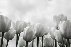 White tulips (LeChienNoir) Tags: flowers white holland color netherlands canon landscape tulips nederland wideangle polder wit landschap tulpen kleur 1740f4 groothoek 2013 lechiennoir 5dm3