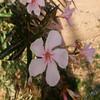 ورده (عادل عبدالله العنزي) Tags: flowers flower ورود ورده زهور