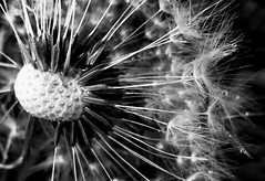 clock_mono5 - detail (little_auk) Tags: flowers suffolk thegrove felixstowe dandelions
