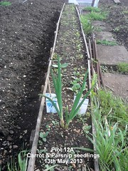 Plot 12A - Carrot & Parsnip seedlings 13-05-2013 (Davy1000) Tags: frame sunflower carrots seedlings runnerbeans daffodils parsnips leeks crocuses broadbeans pintobeans littlegem beetrootchioggia potatoesrocket