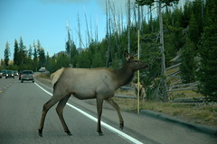 224 - Elk in the road (Scott Shetrone) Tags: animals events places yellowstonenationalpark elk mammals 7th anniversaries wymoing