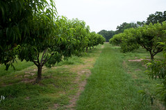 Peach orchard (stevesheriw) Tags: texas brenham washingtoncounty peach orchard