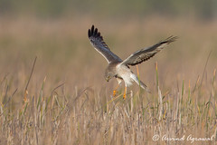 Northern Harrier (Male) - IMG_6412 (arvind agrawal) Tags: