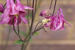aquilegia and hoverfly (Jill Sawyer Phypers) Tags: pink plant flower green bee bud pollen aphid hoverfly june13