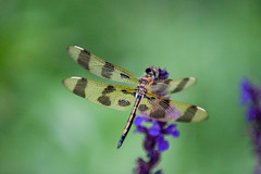 Dragonfly-0499