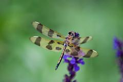 Dragonfly-0499