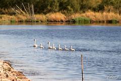 in fila per uno (erman_53fotoclik) Tags: fauna canon eos flora natura uccelli fila cigni destro ermanno 500d nuotare erman53fotoclik