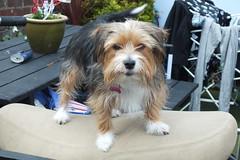 Pixie (Moldovia) Tags: dog pet animal pixie pointandshoot pointshoot caninae fujifilmfinepixhs20exr