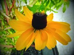 Cone Flower (Toronto, Canada. Gustavo Thomas  2013) (Gustavo Thomas) Tags: life naturaleza toronto ontario canada flower nature fleur yellow flor coneflower fiore simplethings