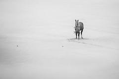 Alone on the Beach (jeff_a_goldberg) Tags: horse canada novascotia nationalgeographic wildhorse parkscanada sableisland feralhorse fishermansharbour sableislandhorse sableislandpony sableislandnationalparkreserve