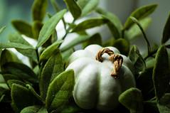 Pumpkin (ApostolisP) Tags: plants holland pumpkin  koogaandezaan