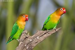 Lovebird . . .   (arfromqatar) Tags: birds lovebird qatar canon600mmf4 canon1dmarkiv  arfromqatar  qatar2022fifaworldcup abdulrahmanalkhulaifi qatarworldcup2122