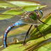 Blue Emperor  (Laying Female)  Anax Imperator