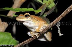27645 Common Tree Frog Polypedates cf leucomystax), Srepok Wilderness Area, Mondulkiri Protected Forest, Cambodia (K Fletcher & D Baylis) Tags: animal fauna wildlife amphibian frog treefrog commontreefrog polypedatesleucomystax srepok srepokwildernessarea cambodia indochina asia may2010