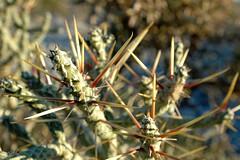 Cylindropuntia ramosissima (PorchPhoto) Tags: california statepark cactus succulent desert native dry badlands anzaborrego arid ocotillo cholla mojavedesert droughttolerant ramosissima droughtresistant ocotillowells cylindropuntia