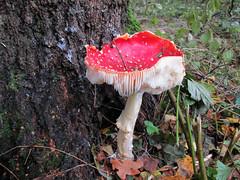 Vliegenzwam in het bos (Arthur-A) Tags: red white dots rood paddestoel witte vliegenzwam stippen wibbeldewap