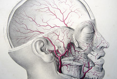 Arteries in the face and skull