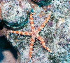 white and orange starfish (Ignati) Tags: animal underwater starfish redsea bottom scuba diving reef coralreef
