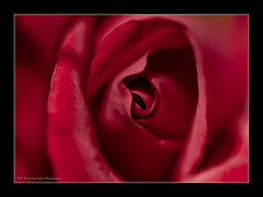 Close and intimate with the beautiful Rose (harshajpatkar) Tags: red macro love rose close personal intimate intimacy