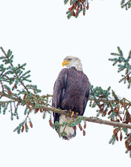 Bald Eagles (pbruch) Tags: trees winter white snow canada fishing adult eagle head britishcolumbia background hunting bald fresh covered perched 500mm squamish 14xtc 5dmk3