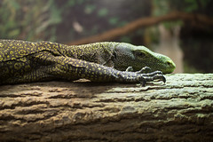 """Monitor Lizard 03 • <a style=""""font-size:0.8em;"""" href=""""http://www.flickr.com/photos/30765416@N06/12159758805/"""" target=""""_blank"""">View on Flickr</a>"""