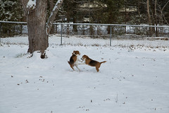 Beagles Playing in the Snow (RalphHightower) Tags: snow beagle weather digital canon unitedstates southcarolina zeus sweetheart beagles 2014 ef24105f4lisusm canonef24105f4lisusm canoneos5dmarkiii eos5dmarkiii