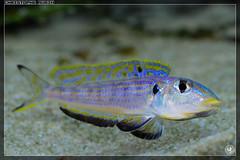 Enantiopus sp. Kilesa (stofmania) Tags: lake fish male aquarium tank lac sp fishes poisson poissons tanganyika kilesa melanogenys enantiopus