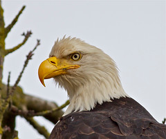 Bald Eagle. (jerrygabby1) Tags: