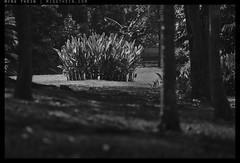 _8047845 copy (mingthein) Tags: park trees blackandwhite bw lake nature monochrome gardens zeiss garden t nikon bokeh availablelight roots apo carl malaysia kuala kl ming lumpur sonnar 2135 onn 1352 thein zf2 photohorologer mingtheincom d800e