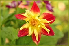 _DSC0479_GF (Tom 6066) Tags: unforgettableflowers mygearandme