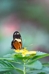 Butterflies are Blooming (2014) (MichellePhotos2) Tags: flower macro butterfly garden spring flora nikon michigan butterflies frederikmeijergardens grandrapids fmg postman westmichigan 150mm butterfliesareblooming frederikmeijergardensandsculpturepark d800e nikond800e butterfliesareblooming2014