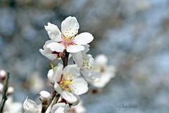Arbol en flor. (djbalbas) Tags: arbol flor romania outstandingforeignphotographersvisitingromania